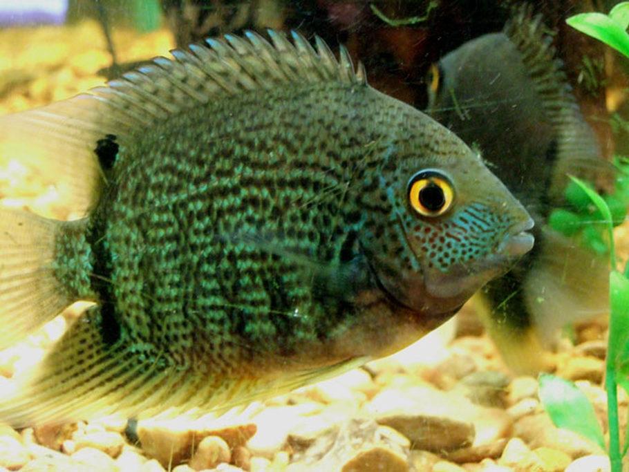 Stxaggie04 39 S Freshwater Fish Photo Id 2344 Full