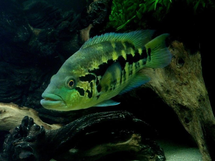 Ccebr 39 s freshwater fish photo id 32699 full version for Freshwater wolf fish