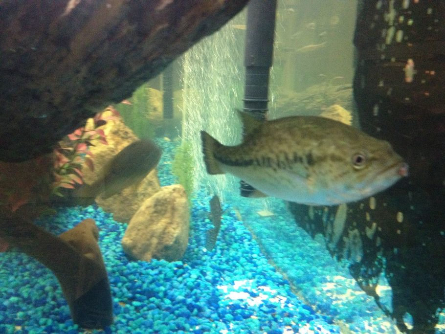 Hamdude 39 s freshwater fish photo id 38711 full version for Bluegill fish tank