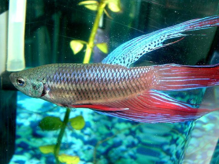 How to deal with the top betta fish diseases for What type of water do betta fish need