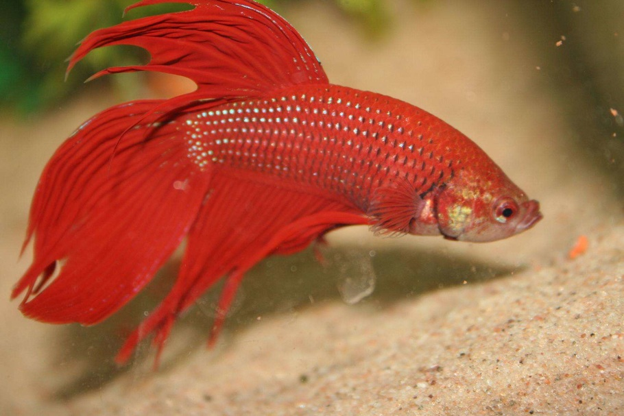 Common myths about bettas for What fish can live with bettas
