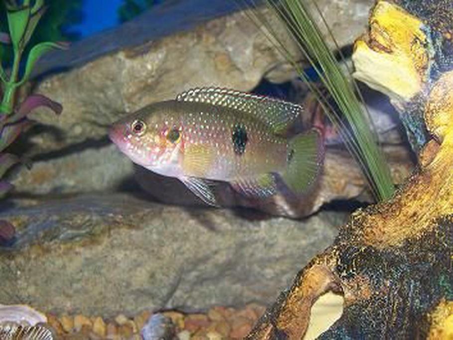african cichlids colors