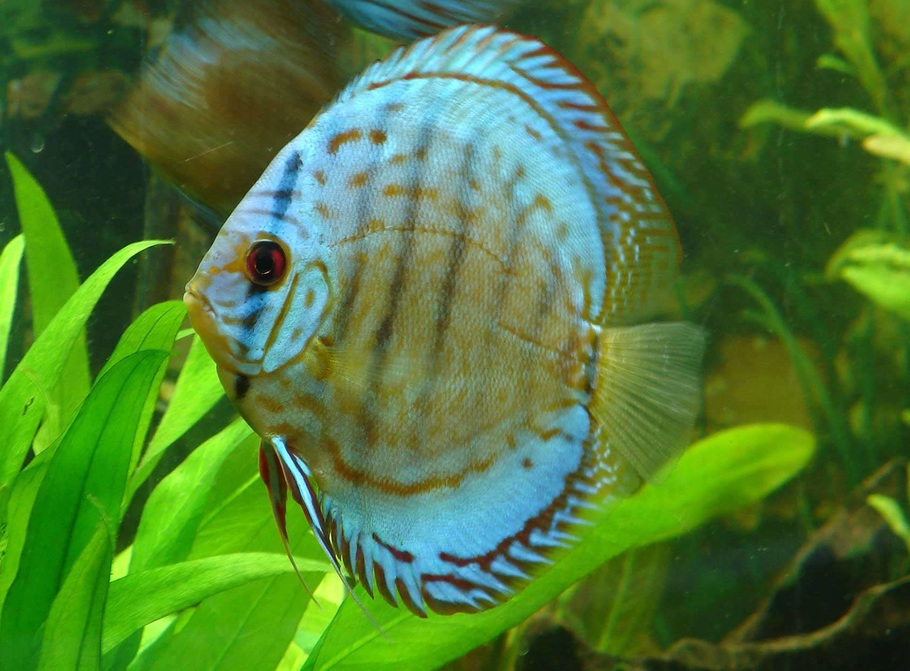 Cultivating A Healthy Discus Community Tank Ratemyfishtank Com