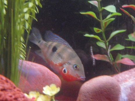 freshwater fish - thorichthys meeki - firemouth cichlid stocking in 29 gallons tank - firebelly