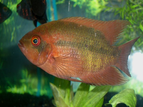 "freshwater fish - hypselecara temporalis - chocolate cichlid stocking in 60 gallons tank - Chocolate Cichlid- ""COUNT CHOCULA"""