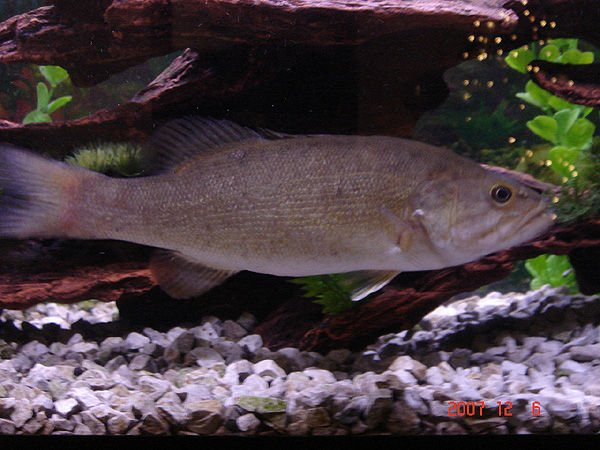 freshwater fish - micropterus dolomieu - smallmouth bass - small mouth bass
