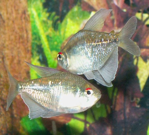freshwater fish - moenkhausia pittieri - diamond tetra stocking in 110 gallons tank - Diamond Tetras