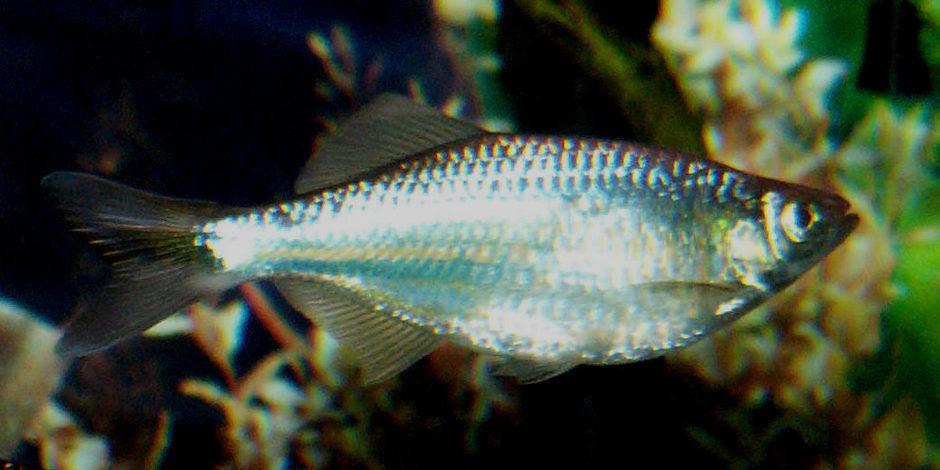 Giant danio danio aequipinnatus photos for Giant danio fish
