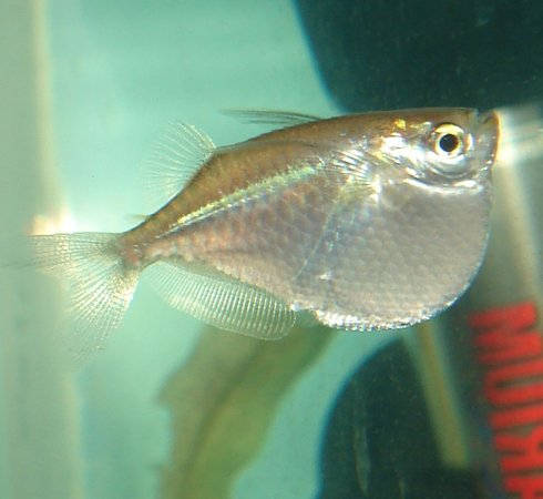 freshwater fish - gasteropelecus sternicla - silver hatchet stocking in 10 gallons tank - Silver Hatchetfish