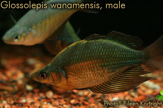 "freshwater fish - glossolepis wanamensis - emerald rainbowfish stocking in 75 gallons tank - True Glossolepis wanamensis (Emerald rainbowfish), male (female in rear), 4"" TL, approximately 2 years of age."