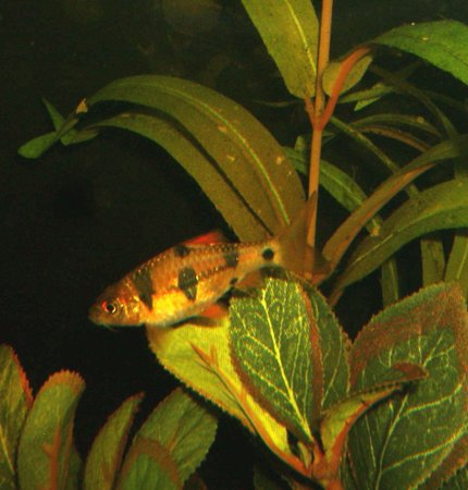 freshwater fish - puntius everetti - clown barb stocking in 90 gallons tank - CLOWN BARB