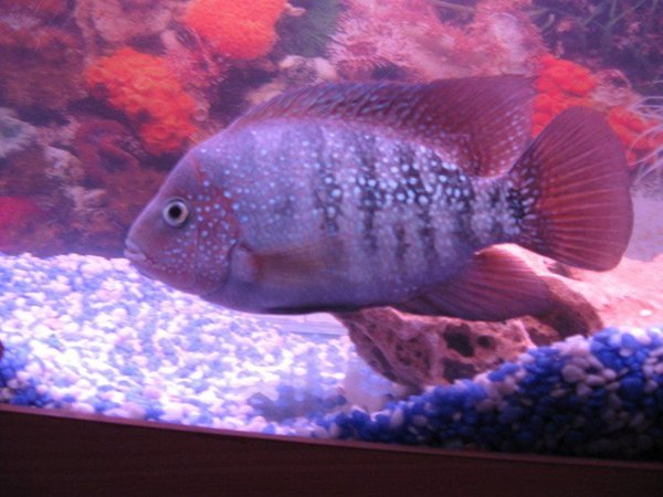 freshwater fish - cichlasoma synspilum - redheaded cichlid stocking in 6 gallons tank - synspilum