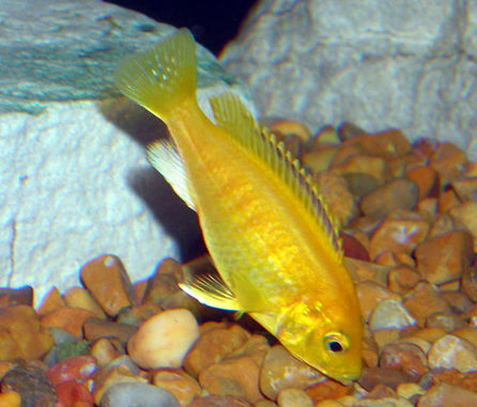 freshwater fish - labidochromis caeruleus - electric yellow cichlid stocking in 55 gallons tank - Yellow Lab mbuna Cichlid.