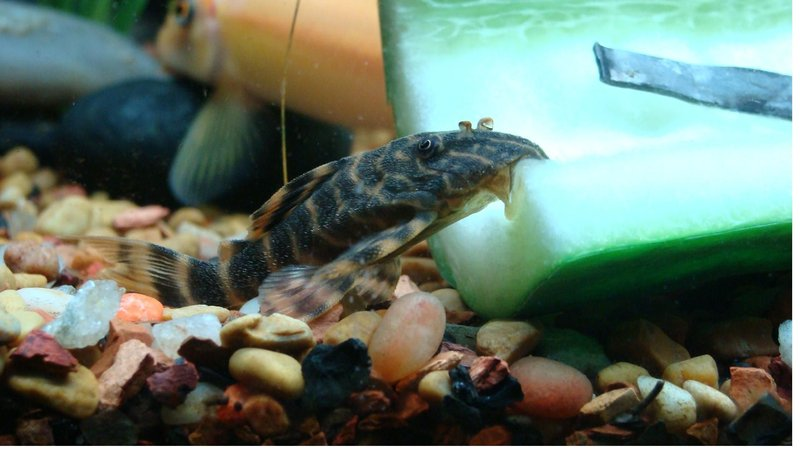 freshwater fish - peckoltia sp. platyrhyncha - rio-negro pleco (l 135) stocking in 40 gallons tank - Candy Striple Pleco (L-135)