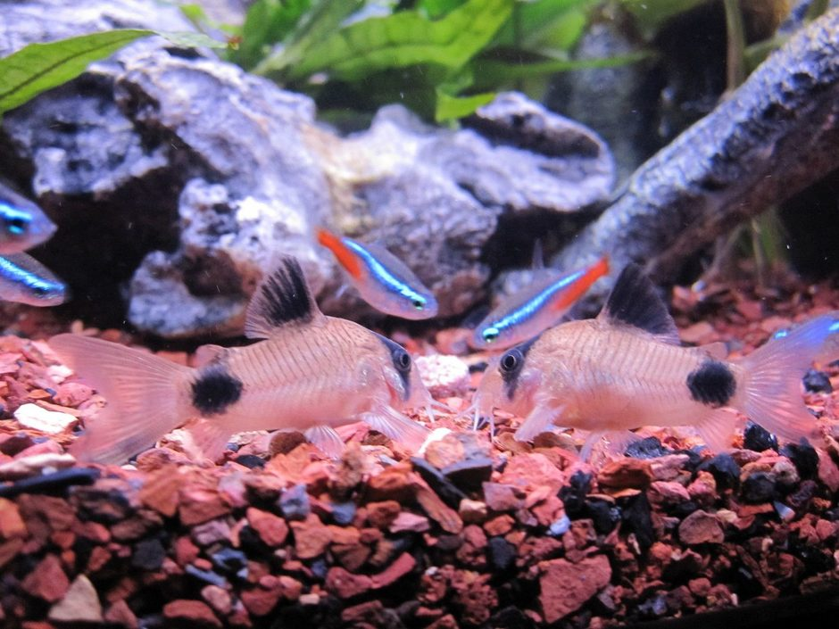 freshwater fish - corydoras panda - panda cory cat stocking in 16 gallons tank - Feeding time - Panda Cories & Neon Tetras
