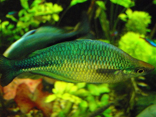 freshwater fish - melanotaenia splendida - australian rainbow stocking in 75 gallons tank - More rainbows, this one has the best flashes when he tries to sweet talk his lady friends.