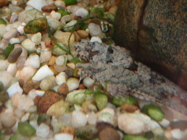 freshwater fish - rineloricaria parva - common whiptail catfish stocking in 75 gallons tank - the whiptails