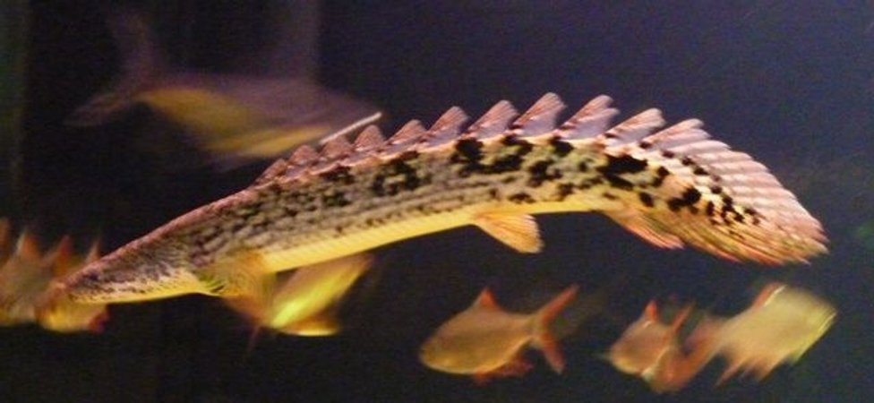 freshwater fish - polypterus ornatipinnis - ornate bichir stocking in 200 gallons tank - Bichir