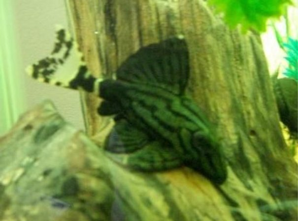 freshwater fish - panaque sp. (l 418) - green royal pleco stocking in 55 gallons tank - royal green pleco