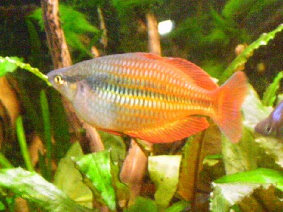 freshwater fish - melanotaenia praecox - praecox rainbow stocking in 40 gallons tank - Rainbowfish
