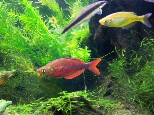 freshwater fish - glossolepis incisis - red irian rainbow stocking in 55 gallons tank - Male and female red irian rainbow and SAE