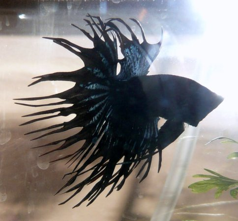 freshwater fish - betta splendens - crown tail betta stocking in 25 gallons tank - crown tail black orchid betta