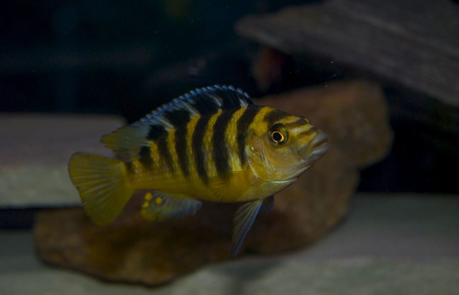 freshwater fish - pseudotropheus crabro - bumblebee cichlid stocking in 75 gallons tank - bumblebee