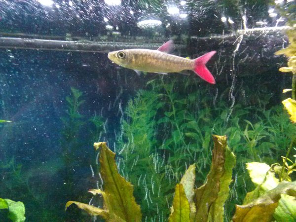 freshwater fish - chalceus macrolepidotus - pink tailed chalceus stocking in 75 gallons tank - Pink tail