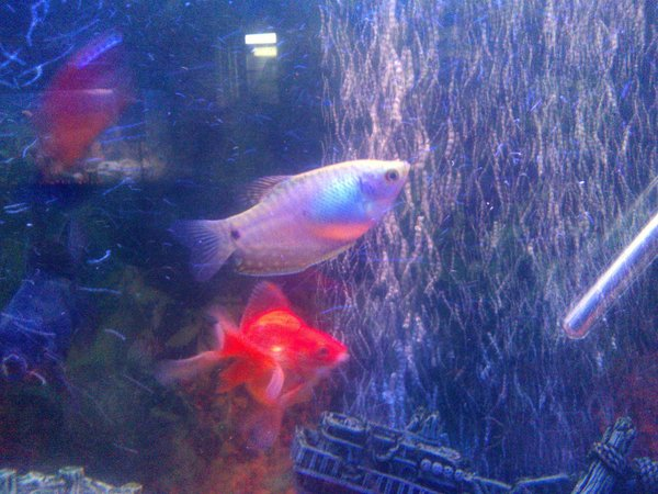 freshwater fish - 21 - blue gourami stocking in 65 gallons tank - her gouramis
