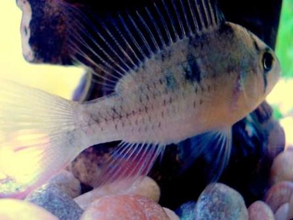 freshwater fish - mikrogeophagus altispinosus - ruby crown cichlid stocking in 20 gallons tank - Ruby Crown Cichlid