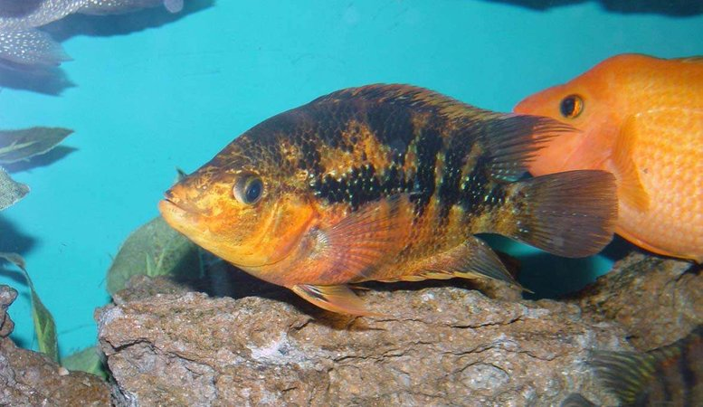 freshwater fish - herichthys cynoguttatus - texas cichlid stocking in 150 gallons tank - What do you get when you cross a Red Devil and a Texas Cichlid?  This fine looking specimen. Almost an iridescent orange/yellow on the belly and black bands on the body