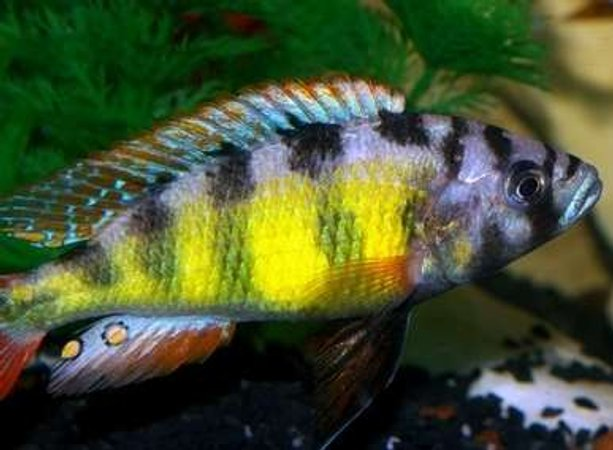 "freshwater fish - haplochromis sp. 44 - red tail stocking in 40 gallons tank - My Dominant Male Hap SP44 ""Thick Skin"" Lake Victorian Cichlid"