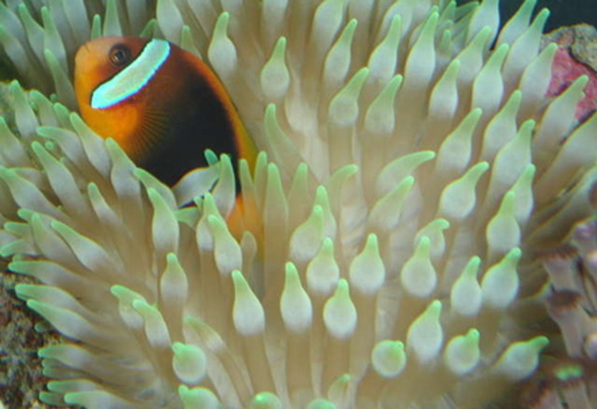 Ananomie Videos guide for keeping anemones in a reef tank