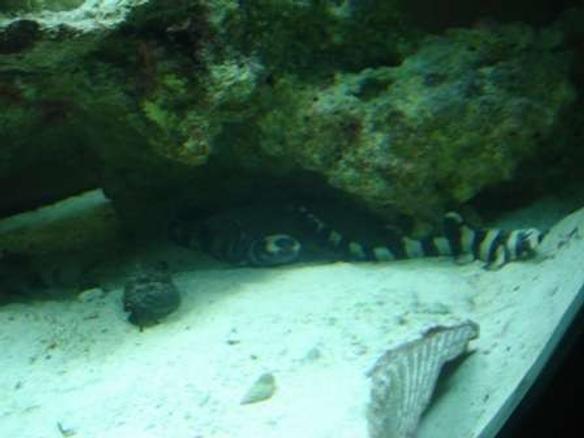Photo #6 - Male Maroon Gold Stripe Clown Fish(left) Female G