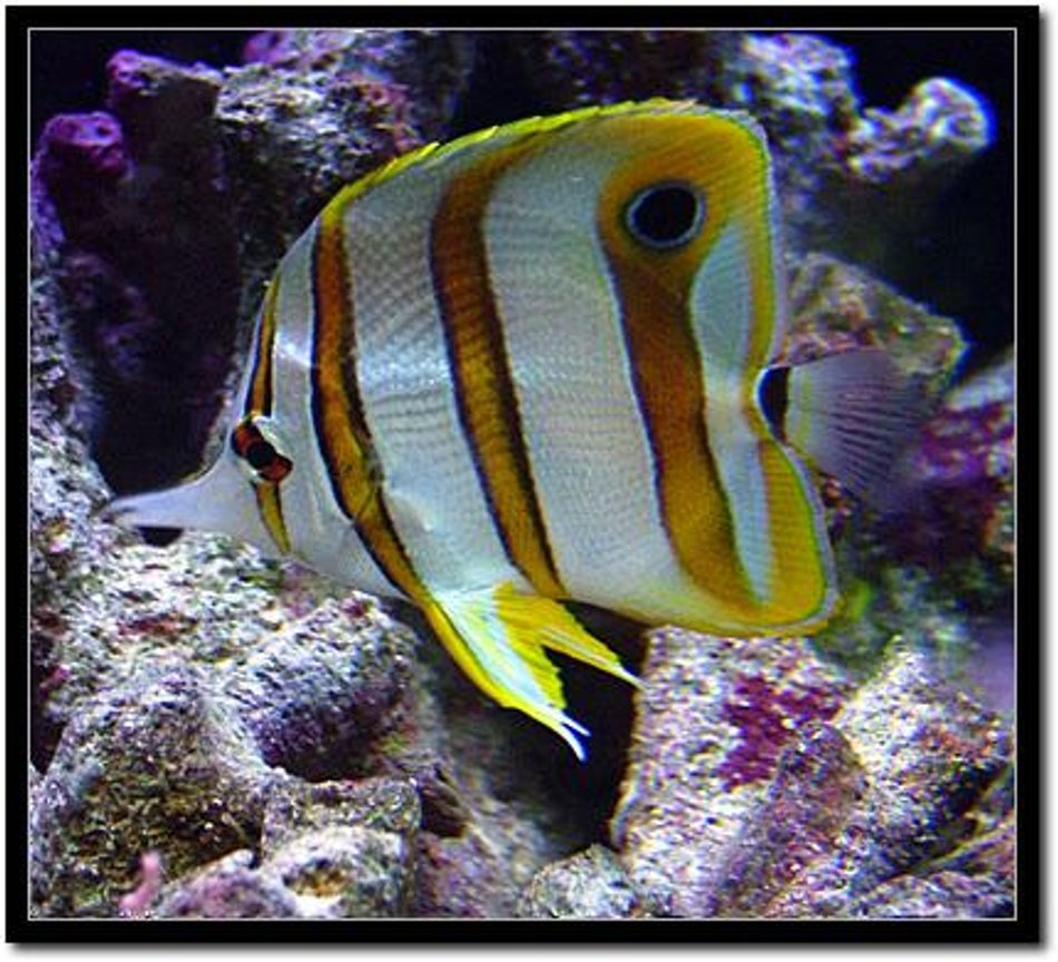 saltwater fish - chelmon rostratus - copperband butterflyfish - Copperband Butterfly