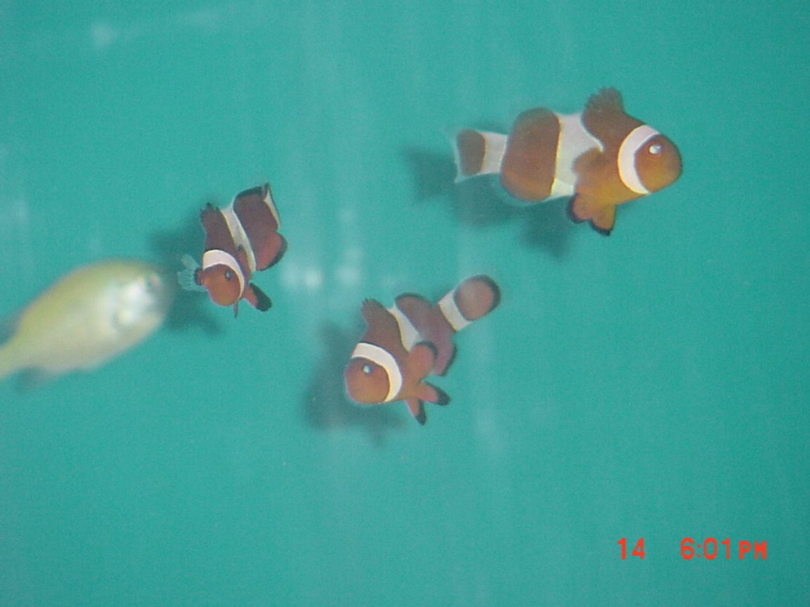 saltwater fish - amphiprion percula - true percula clownfish