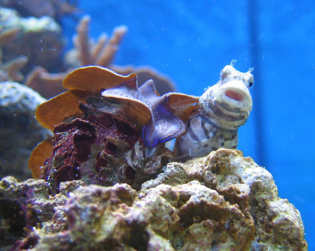 saltwater fish - salarias fasciatus - sailfin/algae blenny stocking in 100 gallons tank - Salarias Fasciatus