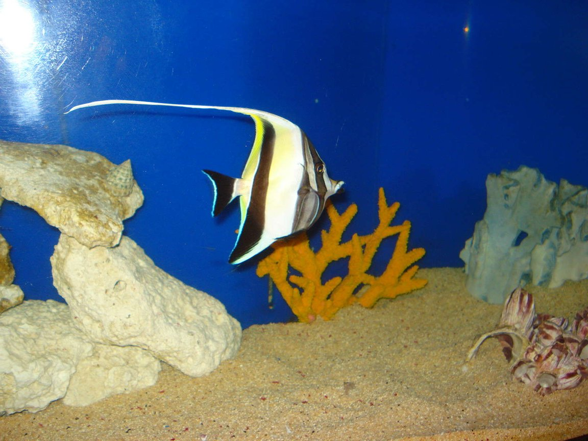 saltwater fish - zanclus canescens - moorish idol stocking in 125 gallons tank - moorish idle