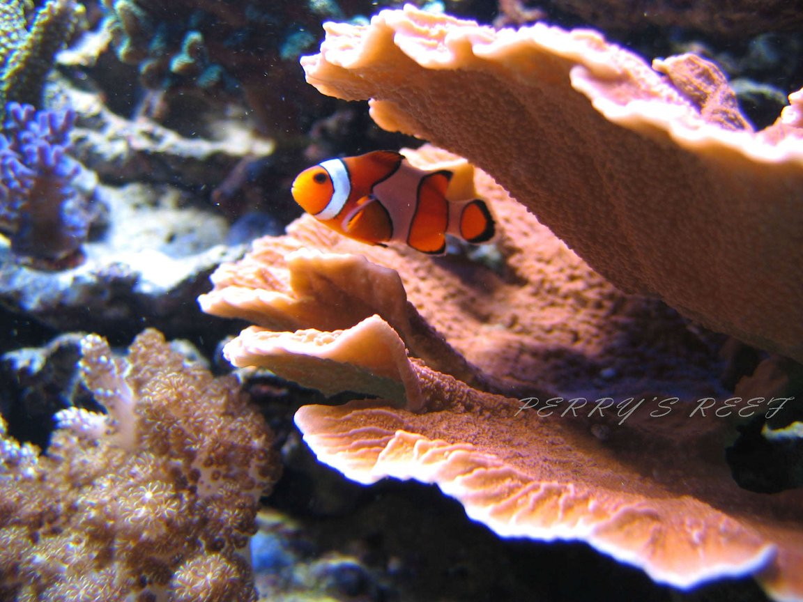 saltwater fish - amphiprion ocellaris - ocellaris clownfish stocking in 100 gallons tank - Ocellaris