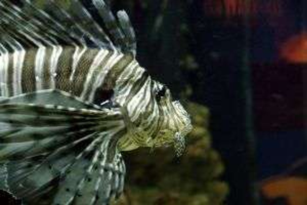 saltwater fish - pterois volitans - volitan lionfish stocking in 125 gallons tank - A tank I made the other day, the fish is real. It died the other day, so I stuck it on a stick and then took this photo. Apparently they need salt water