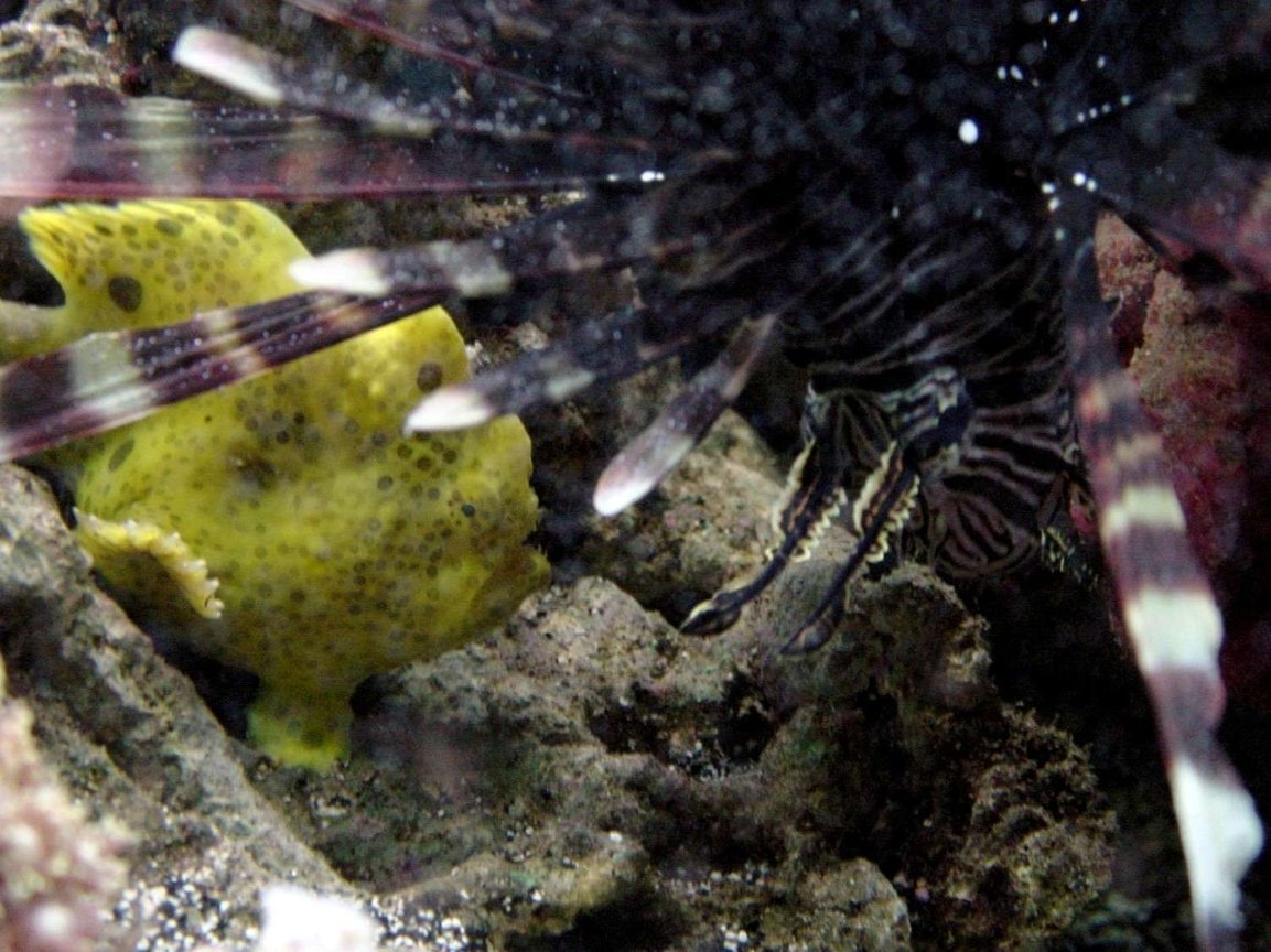 saltwater fish - antennarius maculatus - yellow angler stocking in 50 gallons tank - Warty and Mofasa talk how big is too big to eat