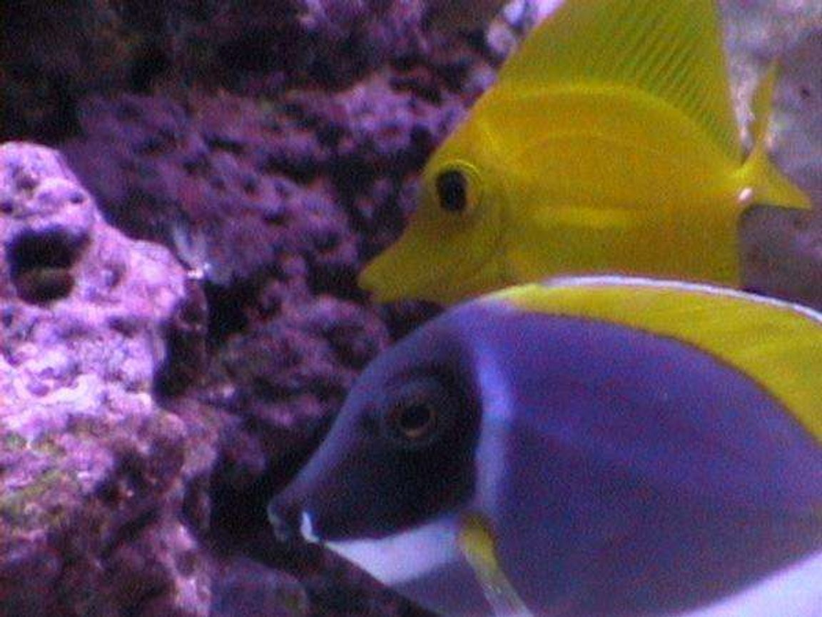 saltwater fish - zebrasoma flavescens - yellow tang - hawaii stocking in 55 gallons tank - inquisitive tangs