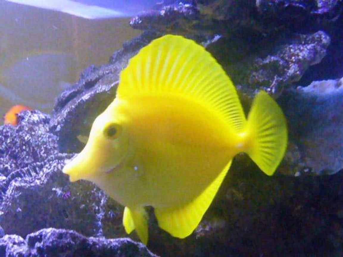 saltwater fish - zebrasoma flavescens - yellow tang - hawaii stocking in 150 gallons tank - my Yellow Tang