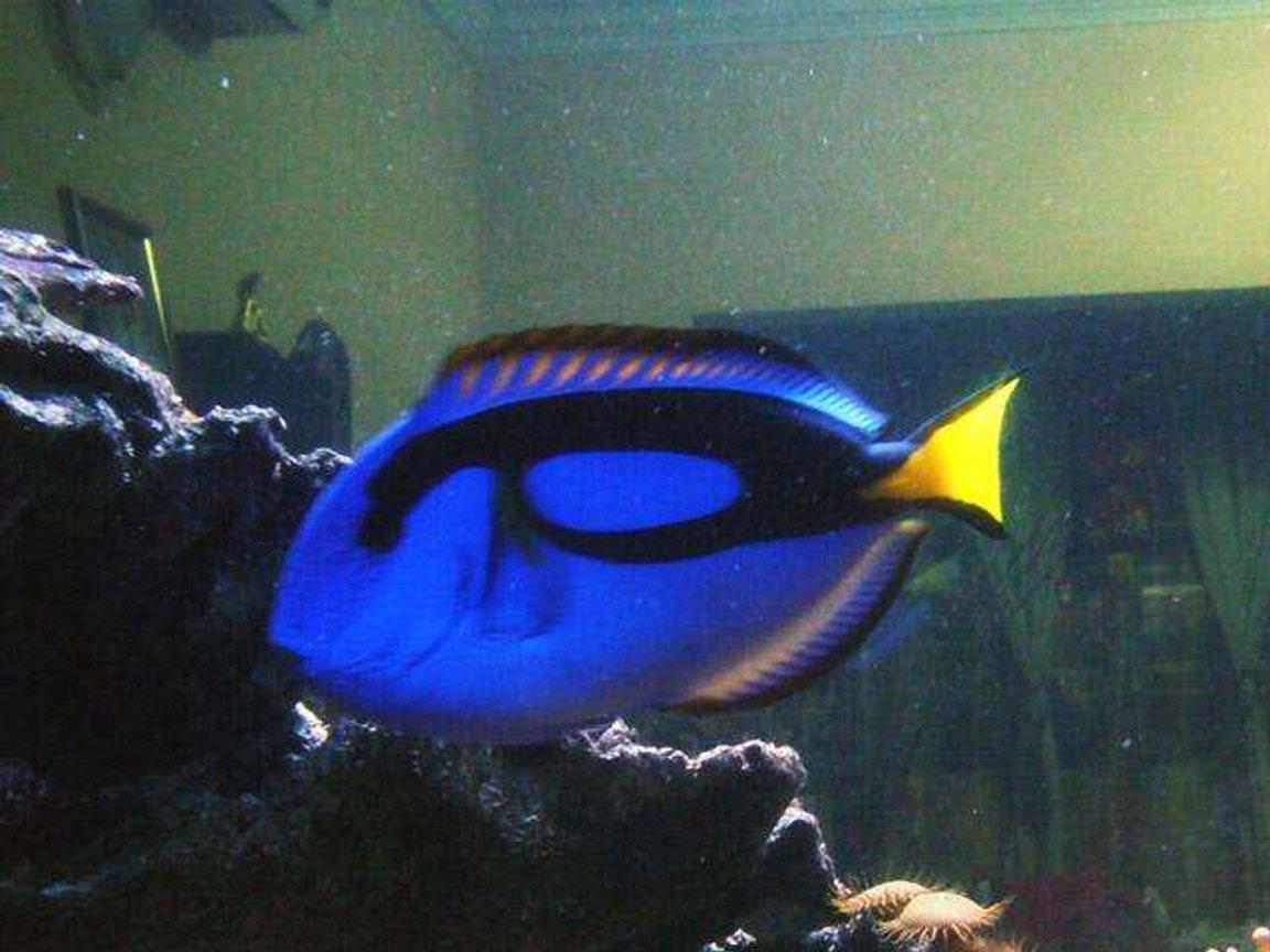saltwater fish - paracanthurus hepatus - blue tang stocking in 150 gallons tank - regal tang