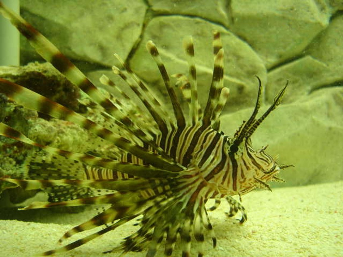 saltwater fish - pterois volitans - volitan lionfish stocking in 100 gallons tank - This is my Black Volitan Lion FIsh .