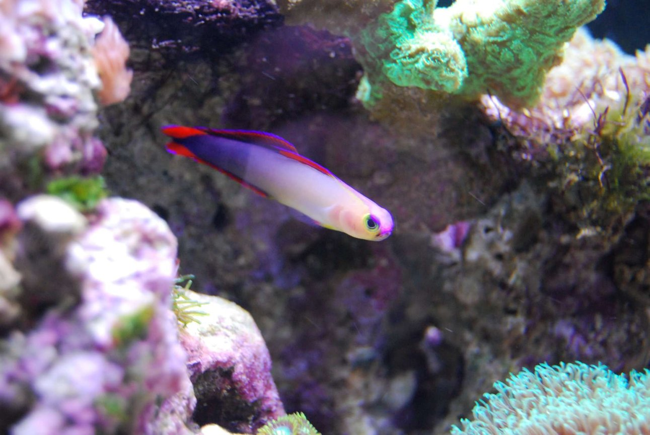 saltwater fish - nemateleotris decora - firefish, purple stocking in 15 gallons tank - Purple Fire Goby