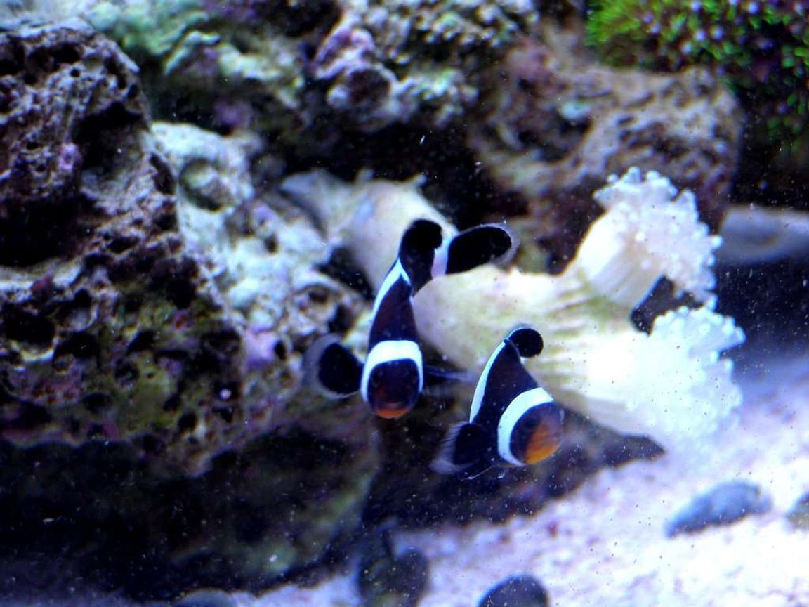 saltwater fish - amphiprion ocellaris var. - black and white ocellaris clownfish stocking in 46 gallons tank - Another picture of Bonnie and Clyde my Black and White False Percula Clown Fish