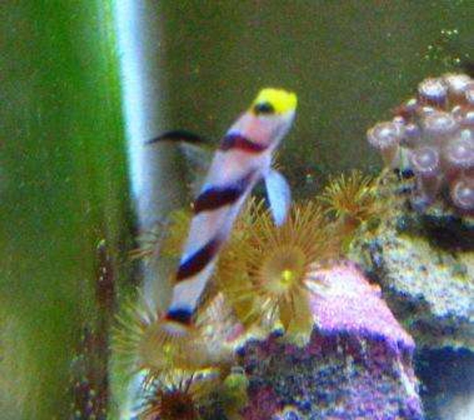 saltwater fish - stonogobiops nematodes - hi fin red banded goby stocking in 10 gallons tank - shrimp goby
