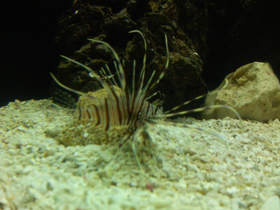 saltwater fish - pterois volitans - volitan lionfish stocking in 125 gallons tank - Volatile lion fish