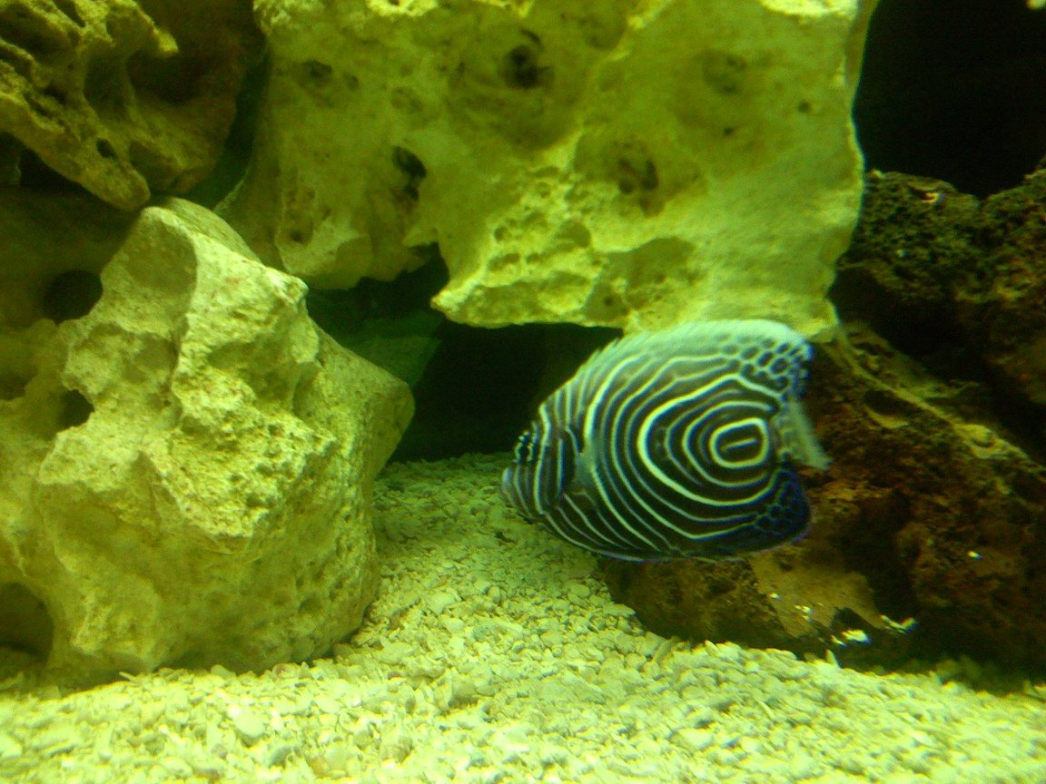saltwater fish - pomacanthus imperator - imperator angelfish stocking in 125 gallons tank - Emperor Angel